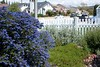 Favorite garden-Ceanothus 'Concha', Baccharis 'Dodge Ely' and Salvia apiana Mar 31 2013 (campsjc) Tags: favoritegarden tolndropbox