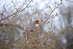 Winter in London , March 2018 (Massimo Usai) Tags: 2018 england kew kewgarden london londonist march snow winter robin weather cold flakes nature wildlife
