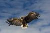 Pygargue à queue blanche (jackyg170) Tags: pygargue à queue blanche aigledemer aiglepecheur eagle whitetailedeagle lofoten norvege norway norge vesteralen