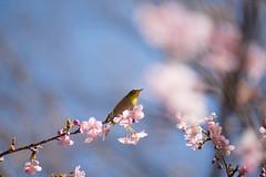 _DSC0850.jpg (plasticskin2001) Tags: mejiro sakura flower bird