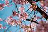 IMGL0498 (GARNETSKY2006) Tags: 180304sakura 5d3 sakura cherryblossom 50mmf12