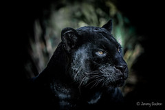 Hardly rinky-dink (JKmedia) Tags: jaguar melanism big cat bigcat black panther boultonphotography chesterzoo cheshire february 2018 portrait animal goshi pantheraonca