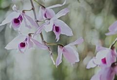 Anosmum (ACEZandEIGHTZ) Tags: nikon d3200 species fragrant overexposed dendrobium anosmum orchid bokeh art coth alittlebeauty nature coth5 sunrays5