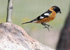 Caught in Mid-Air -- Black-headed Grosbeak -- Male (Pheucticus melanocephalus); Santa Fe National Forest, NM, Thompson Ridge [Lou Feltz] (deserttoad) Tags: wildlife nature newmexico mountain nationalforest desert bird wildbird behavior grosbeak