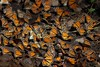 Mariposa (wouter.bollinger) Tags: reserve biosphere beautiful amazingcolors butterfly canon50d canon angangueo mexico mariposa
