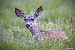 Mule Deer (Odocoileus hemionus) in Grand Teton National Park (Jim Frazee) Tags: muledeer odocoileushemionus grandtetonnationalpark