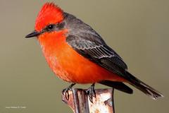Vermilion In One (VankoVision) Tags: vankovision birds nature vermilion flycatcher tucson arizona