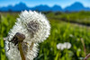 Mountain Dandelion (Agoseris glauca) in Grand Teton National Park (Jim Frazee) Tags: mountaindandelion agoserisglauca grandtetonnationalpark