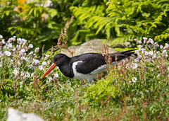 Oystercatcher (wayne.withers1970 (Not on much now 'cos of work)) Tags: flowers flora fauna oystercatcher black white green flickr canon sigma color colorful nature natural country countryside wild wildlife outside outdoors light island sea wings feathers pretty beautiful flower