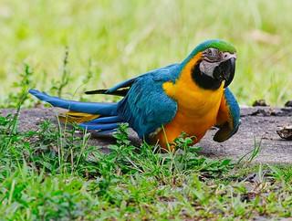 Ara bleu - Blue-and-yellow Macaw
