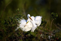 An elegant courtship.  Great egret (Ardea alba) couple cuddling at Venice Rookery, Venice, Florida (diana_robinson) Tags: greategret ardeaalba breedingplumage elegantcourtship nestingseason sunrise courtship cuddling egret venicerookery venice florida