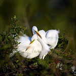 An elegant courtship.  Great egret (Ardea alba) couple cuddling at Venice Rookery, Venice, Florida thumbnail