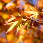 Spring Golden Leaves thumbnail