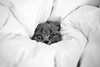 Tucked In Ollie (Zé Castro) Tags: contrast blackandwhite eye monochrome animal nikon photography d800 cute cat castro british kitten kity family pet scottish ollie shorthair josé fold bed sheets tucked in sleep sleeping pillow