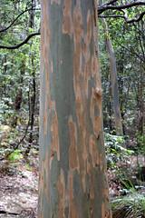 Sydney Blue gum (Eucalyptus saligna) (Poytr) Tags: warraroonreserve longueville lanecove sydneyaustralia myrtaceae bluegum sydneybluegum eucalyptus eucalyptussaligna tree bark wood forest