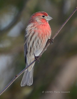 Roselin familier, House Finch.  DSC_6497