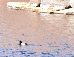 Lesser Scaup / Ketring Park (eddyandtroymike@yahoo.com) Tags: colorado ducks diving