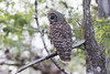Barred Owl (DFChurch) Tags: sixmilecypressslough barred owl animal nature wing feather bird wild wildlife florida strixvaria