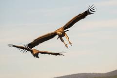 Eurasian Griffon - Sierra de Andujar - Spain (wietsej) Tags: eurasian griffon sierra de andujar spain vale gier bird sony rx10 iv rx10m4 bif flight rx10iv
