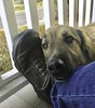 Lexi hanging out and looking so comfy... (RichHaig) Tags: lexi dog keen jeans shoe richhaig iphone anatolian shepard