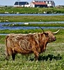 Bad hair day (john.methven) Tags: highland cow cattle croft south uist outer hebrides cute scotland