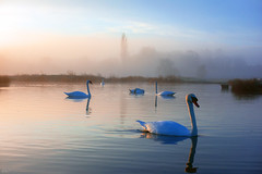 stour valley swans_1978 (mistycrow) Tags: swan swans birds white reflections water river stour meadows fog mist mistycrow misty sudbury landscapes suffolk