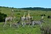 Southern giraffe (Giraffa giraffa) & Burchell's zebra (Equus quagga burchellii) (R-Gasman) Tags: travel animal southerngiraffe giraffagiraffa burchellszebra equusquaggaburchellii inkwenkwizigamereserve easterncape southafrica