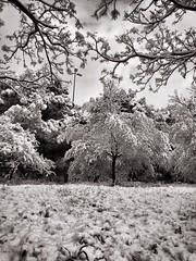 Snow in Rome, Italy. (Massimo Virgilio - Metapolitica) Tags: monochrome blackandwhite trees tree winter italy rome snow