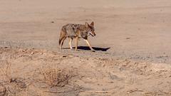 Death Valley National Park    California   Coyote (Feridun F. Alkaya) Tags: deathvalley deathvalleynationalpark nps ngc california coyote usa nationalpark zabriskiepoint sanddunes jackal desert dvnp mesquiteflatdunes dunes saltflats salt