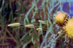 Autumn Flora! (maginoz1) Tags: autumn march 2018 thistle seed grass abstract art manipulation curves bulla melbourne victoria australia canon d100
