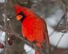 IMG_8464 red cardinal (starc283) Tags: starc283 wildlife canon canon7d flickr flicker winter nature naturesfinest naturewatcher outdoors outdoor cardinal redcardinal maleredcardinal