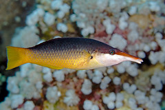Green Birdmouth Wrasse - Gomphosus caeruleus (Jim Greenfield) Tags: egypt redsea sharm