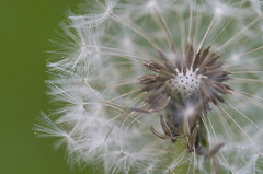 Make a wish (s.d.sea) Tags: dandelion macro wish seeds fluff white green nature flower flowers floral weed plant plants garden pentax k5iis 35mm