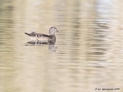 Wood Duck Female (pandatub) Tags: bird birds duck woodduck elkgrove
