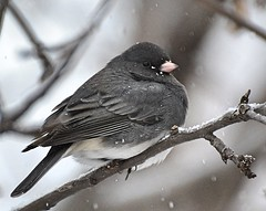 Finally Got A Shot Of The Elusive Dark Eyed Junco! (DaPuglet) Tags: darkeyedjunco junco bird birds animal animals nature wildlife winter ontario snow coth5 ngc npc