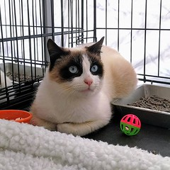 Sagwa scored himself a home, his new big brother is also a Snowshoe! #happytails #adopted #catsofbushwick #adoptionevent (Jimmy Legs) Tags: sagwa scored himself home his new big brother is snowshoe happytails adopted catsofbushwick adoptionevent