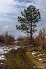 Pine tree (Milen Mladenov) Tags: 2018 bulgaria landscape montana ogostareservoir autumn autumnleaves barks bush bushes dirtroad forest grass latewinter leafs nature path pineforest pinetree road snow tracks vertical walk winter