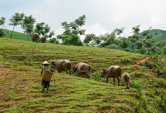 A woman with buffaloes on the hill (phuong.sg@gmail.com) Tags: asia asian colorful culture dao destination dress dzao ecology environment ethnicity ethnography field food goinghome hiking hill hmong horticulture indochina land landscape lifestyle local minority mountain nature people plant reallives rural sapa tourism traditional travel tribe valley vietnam village woman