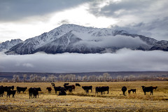 Grazing cows (Explore 1/14/18) (BDFri2012) Tags: cows pasture owensvalley mttom snow clouds cloudy mountain sierranevadamountains sierra highsierra highsierras us easternsierra california ca bishopca landscape outside outdoors