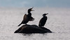 Cormorans (caberdoz) Tags: cormorant preverenges lac léman geneva lake plage