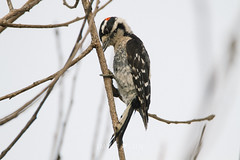 Downy Woodpecker (Picoides pubescens) (emiliechenphotography) Tags: bird winter sanjoaquinwildlifesanctuary 2018 downywoodpecker picoidespubescens