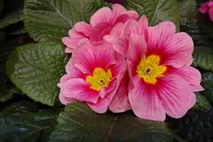 "Primel (Gartenzauber) Tags: saariysqualitypictures ""doublefantasy"" floralfantasy"