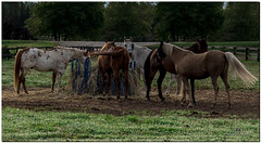 AUGUST 2017 NM1_4577_806-224 (Nick and Karen Munroe) Tags: horse horses horseranch equine equestrian ranch farm canada caledon northcaledon colour color colors colours beauty beautiful brilliant nikon nickmunroe nickandkarenmunroe nature nickandkaren nick 2470f28 2470 afs2470f28edg nikon2470f28 munroedesignsphotography munroedesigns munroephotography munroe karenick23 karenick karenandnickmunroe karenmunroe karenandnick karen landscape ontario outdoors ontariocanada openroad animal animals