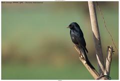 Black Drongo (कोतवाल, भुजंग) - Dicrurus macrocercus (jhureley1977) Tags: black drongoकोतवालभुजंगdicrurus macrocercusbirdsbirdingindia birdsindia birding 2018ashjhureleyavibasenaturesvoicebbcspringwatchrspbbirderssanctuaryasiaorientbirdclubashutosh jhureleyjabalpurjabalpur birds