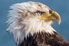 Bald Eagle (wyrickodiak_9) Tags: bald eagle kodiak alaska raptor bird prey wildlife