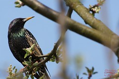 Starling (Jurek.P) Tags: birds bird starling szpak sonya77 jurekp mazury masuria poland polska