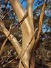 Cave Hill gum (sarinozi) Tags: australia australian flora gumtree eucalypt bush scrub outdoor nature natural sheen shiny smooth shedding bark