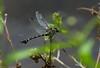 Ictinogomphus australis (dustaway) Tags: arthropoda insecta odonata dragonfly australianinsects lismore northernrivers nature nsw australia anisoptera lindeniidae ictinogomphusaustralis australiantiger