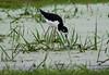 Black Necked Stilt - Endangeed (jerrygabby1) Tags: endangered oahu hawaii