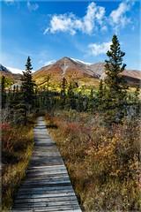 Glacier Trail_1190 (uwe_cani) Tags: yukon canada natur nature outdoor berge mountain wolken clouds bluesky blauerhimmel gelb yellow herbst autumn amerika america